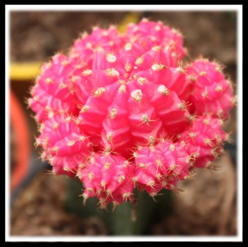 cactus injertados suculentas de colores