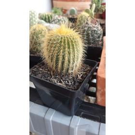 Cactus Matera Plástica P7. Por Unidad