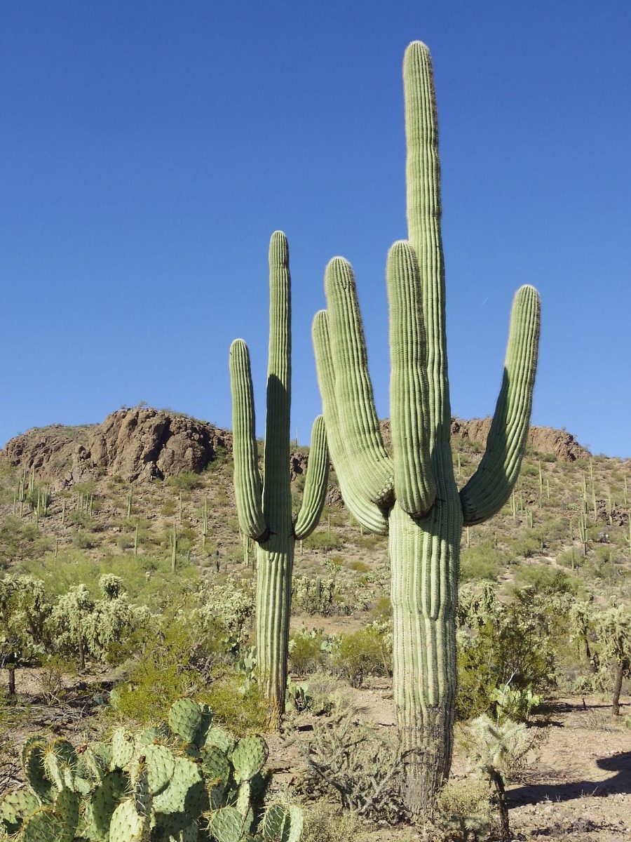 Cactus o planta cactaceas exotico variados grandes for Donde venden cactus