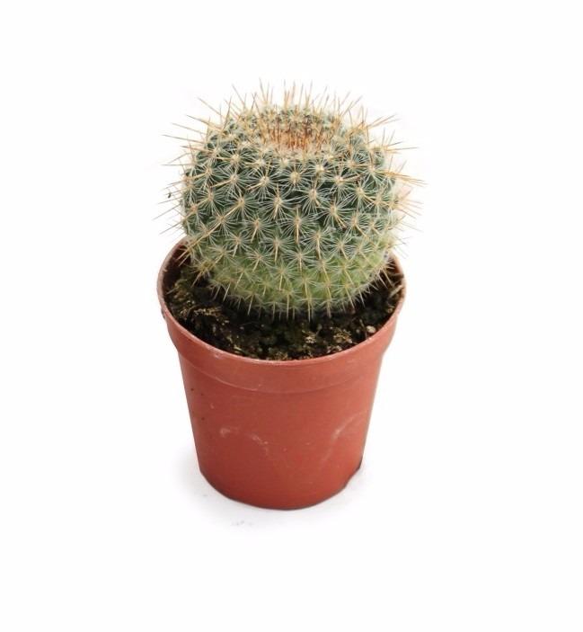 Cactus o plantas cact ceas en matera p6 en for Donde venden cactus