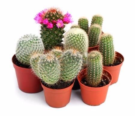Cactus o plantas cact ceas en matera p6 en for Plantas decorativas artificiales bogota