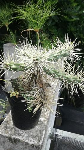 cactus sierra de cordoba