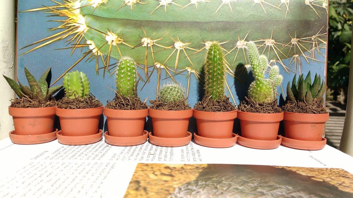 Cactus suculentas miniatura el mejor precio en for Donde venden cactus