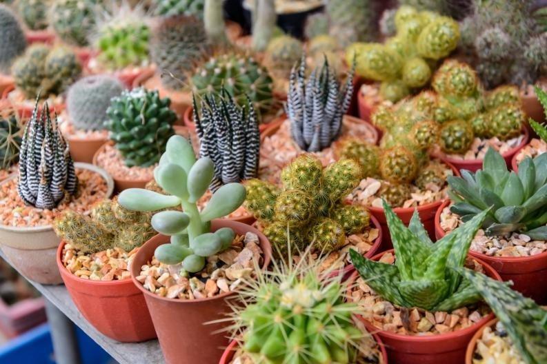 Cactus y suculentas en santiago diferentes tama os tipos for Vivero de cactus en chile