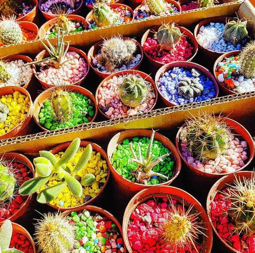 cactus y suculentas maceta 6. venta mayorista y minorista