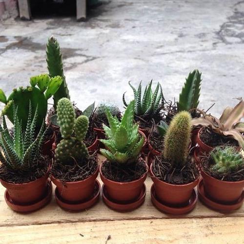cactus y suculentas miniatura