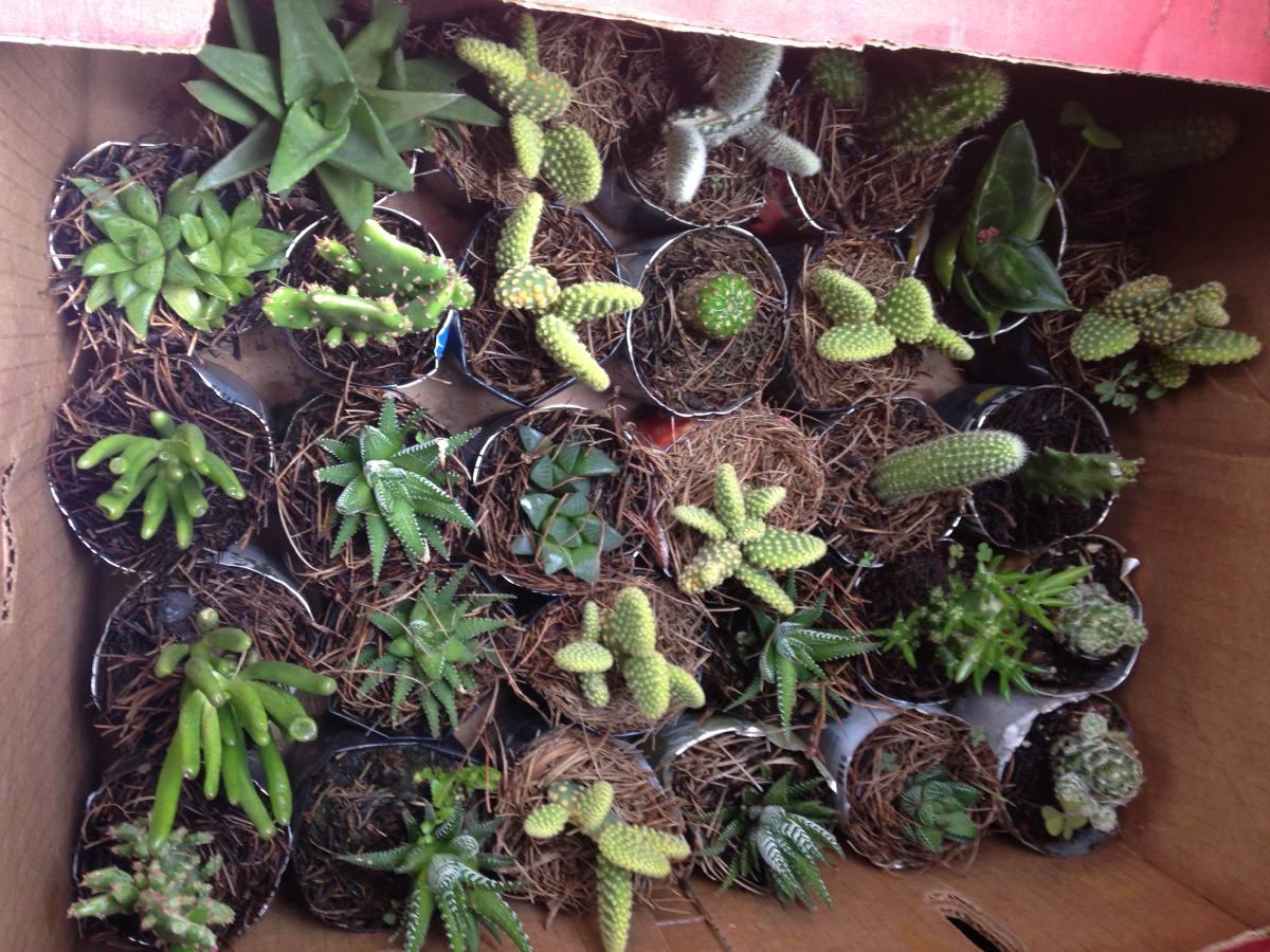 Cactus y suculentas variadas venta al mayoreo en for Cactus y suculentas