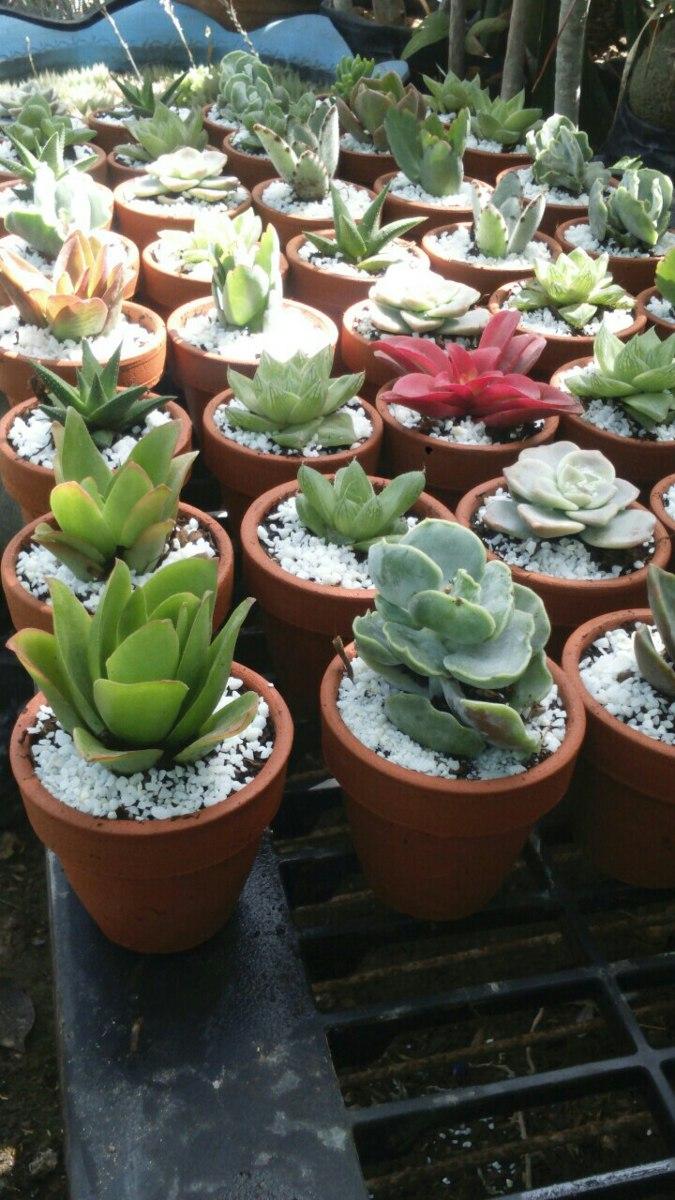 cactus y suculentas x mayor y menor bautizos matimonios On cactus y suculentas por mayor