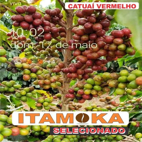 café graúdo grãos crus 6 kg in natura s/ torrar 100% arábica