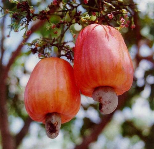 caju cajueiro anão precoce ccp76 vermelho 5 sementes p mudas