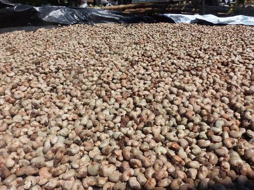 caju cajueiro anão precoce ccp76 vermelho 50 sementes p muda