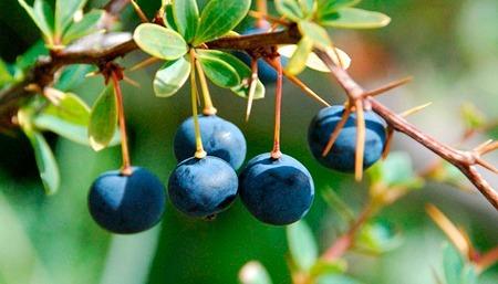 planta y fruto del calafate