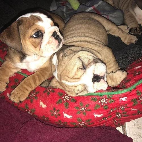 camada  bulldog ingles  cali medellin bogota barranquilla