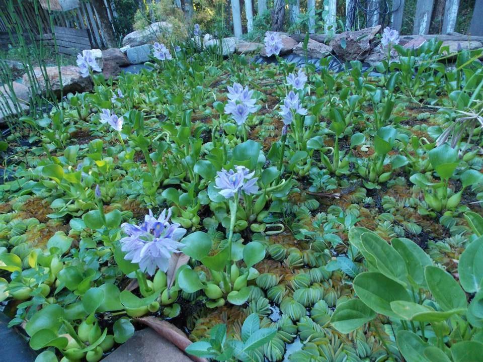 Camalote duraznillo y otras plantas acu ticas para for Plantas estanque