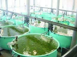 camarones acuicultura
