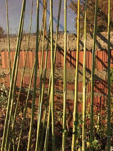 cañas bambú !