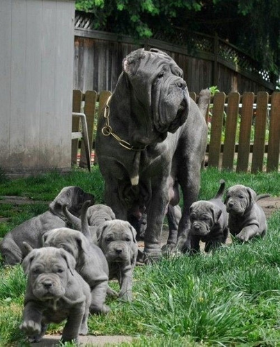 canbo cordero cachorro de 15 kilos neto  no realizo envío