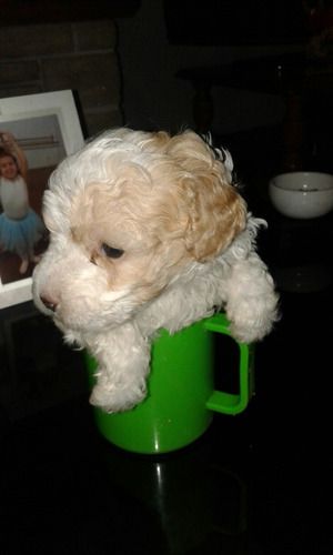caniche micro toy hermoso cachorrin