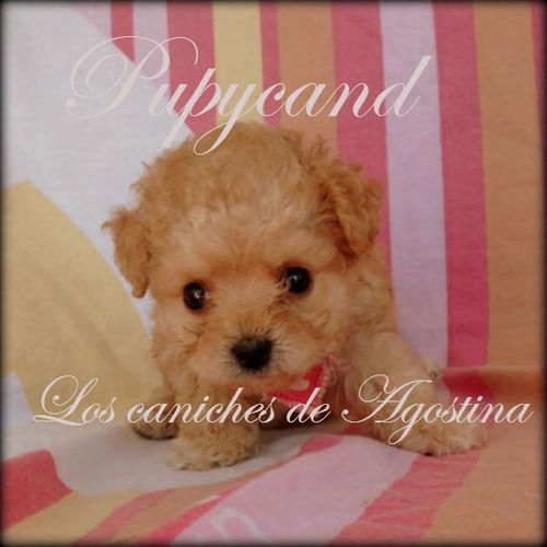caniches hembras apricot .mini reales! envio.pagos s/interes