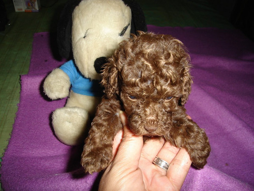 caniches mini toy hembra  chocolate 9 meses vacunas completa
