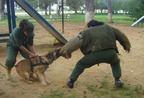 canino para adiestramiento