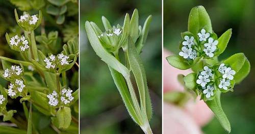 canonigos valeriana locusta alface sementes para mudas