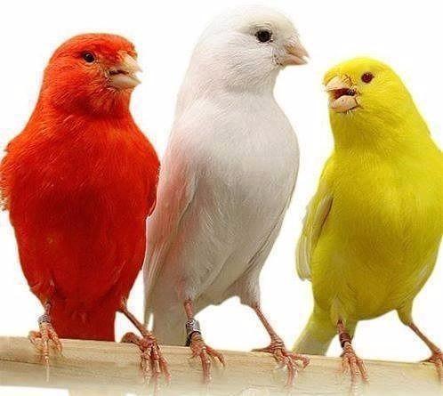 canto para ensinar canário belga em mp3 envio pelo wathsapp