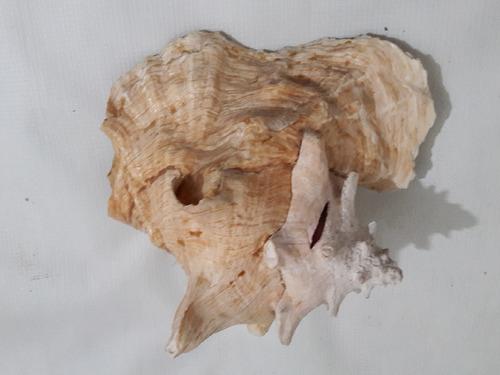 caracol marino