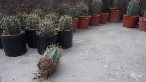 cardón trichocereus (echinopsis) terscheckii cactus