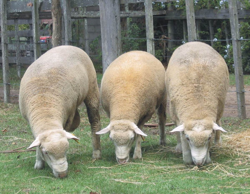 carneros borregos ile de france de campo de 2 y 4 dientes.