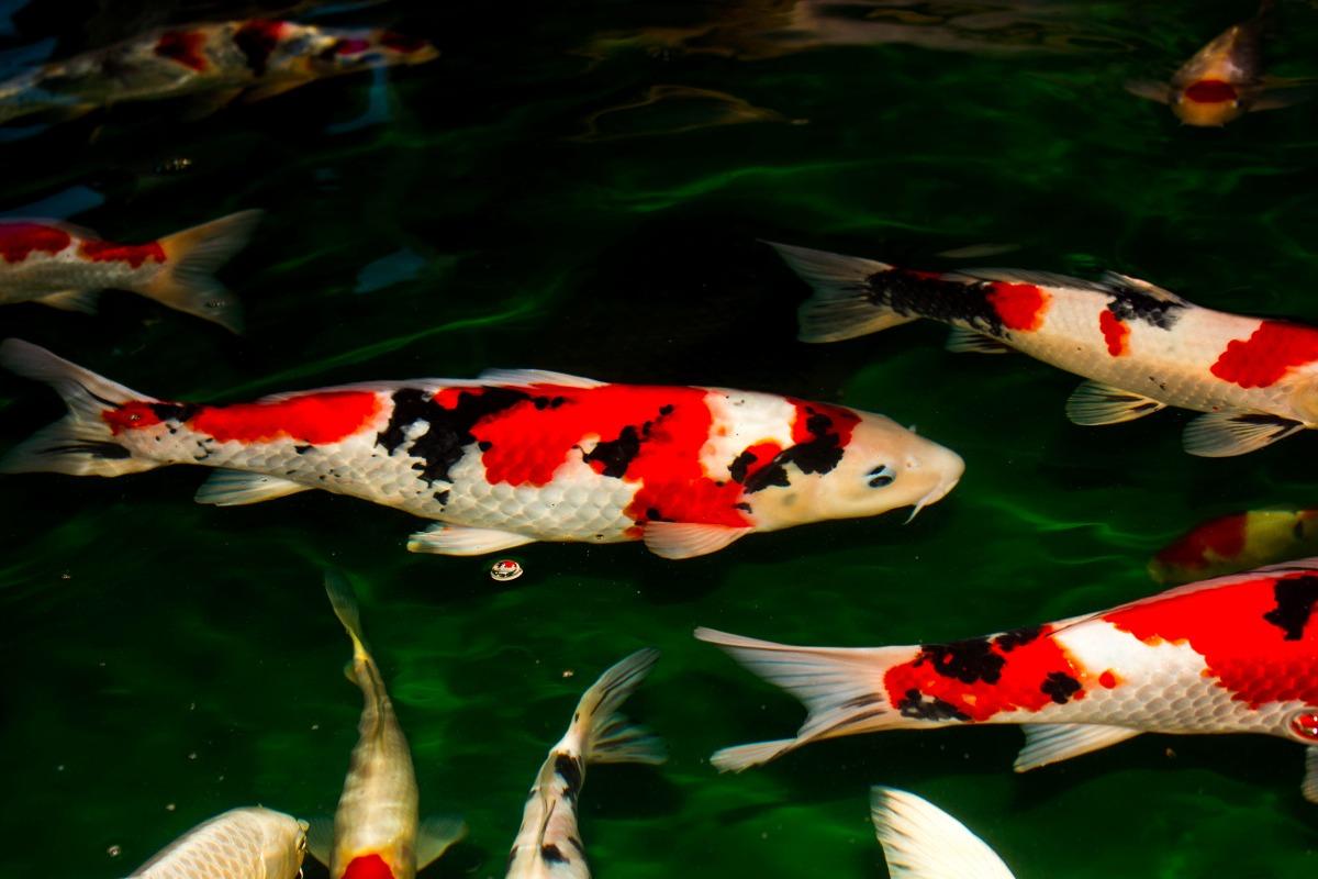 Carpa nishikigoi como criar frete gr tis promo o koi for Como criar carpas en estanques