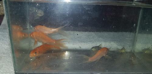 carpas de estanque varios colores  12 cm