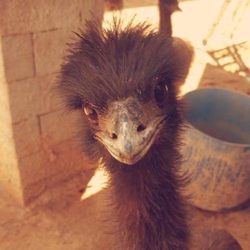 casal emu australiano