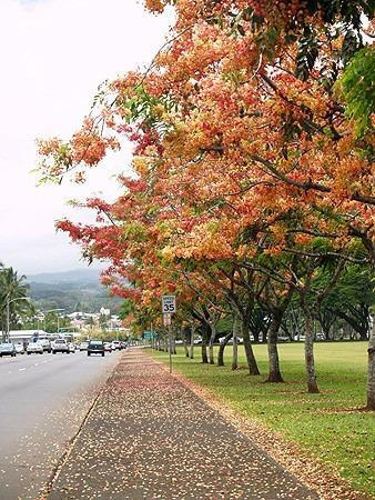 cassia arco iris - rainbow shower - árvore sementes p/ mudas