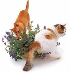 catnip (la marihuana de los gatos) 15 semillas