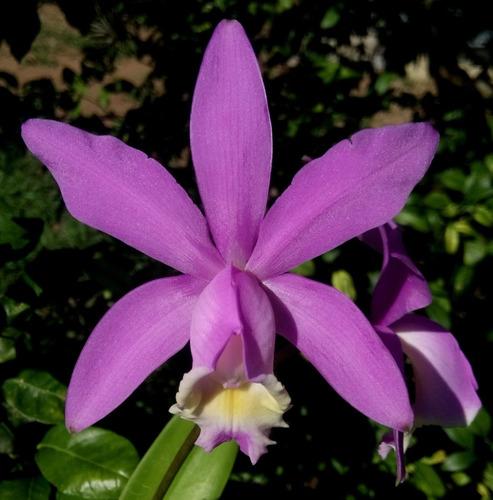 cattleya loddigesii - floresce no proximo broto