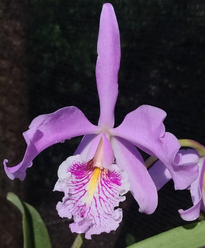 cattleya maxima - planta adulta envasada - 2659549