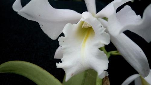 cattleya maxima var suave - corte adulto envasado 9459469