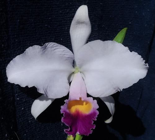cattleya trianae coeruela - adulta envasada (planta da foto)