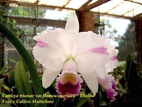Cattleya Trianae Var Flameacaerulea Thalita