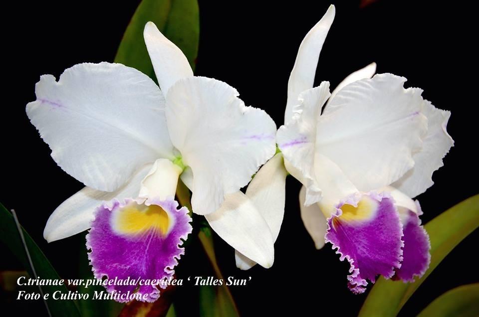 Cattleya Trianae Varcaeruleaorlatapincelada Charles Sun