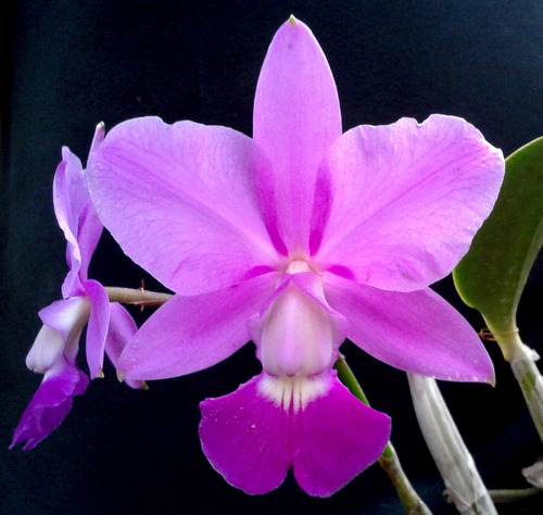 cattleya walkeriana 1.3 - nativa - corte adulto