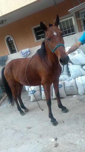 cavalo argentino