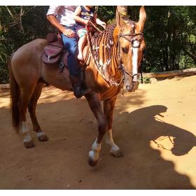 Cavalo Campolina  Cabeça Encarneirado Puro De Marcha Picado