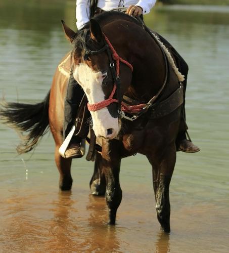 cavalo pent horse garanhão