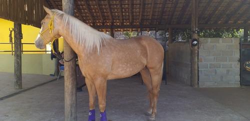 cavalo quarto de milha po com registro