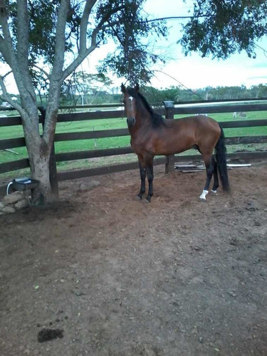 cavalos garanhão