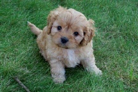 cavapoo cachorros disponibles para un nuevo hogar.