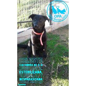 Celeste Cachorrita De 7-8 Meses, Muy Juguetona, Vacunada.