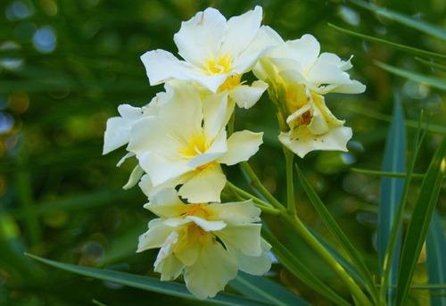 cerco vivo -  laurel de flor - 20 cm de altura